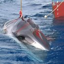 A minke whale is harpooned by the Japanese whaling vessel Yushin Maru No.2 in the Southern Ocean